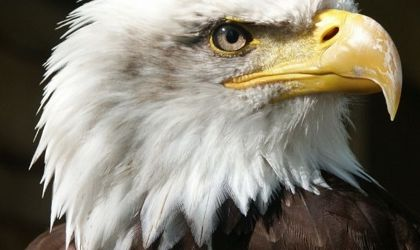 Read more: Eagle Breeding Areas
