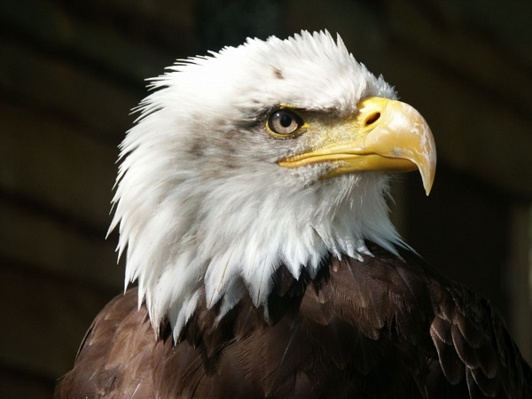 bald eagle breeding areas 1